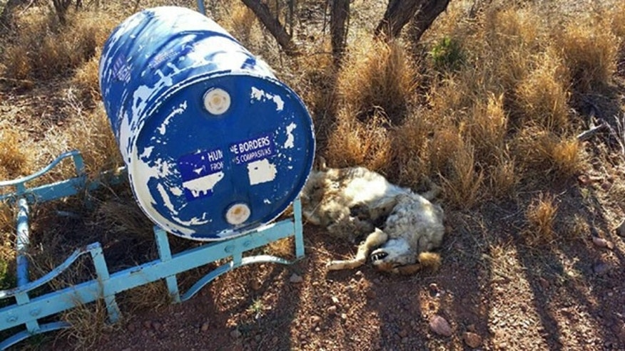 In this Tuesday, Feb. 9, 2016 photo provided by Humane Borders, the carcass of a coyote is shown next to a 55-gallon water container left in the southern Arizona desert near the town of Arivaca.
