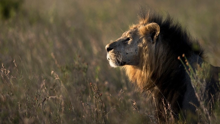Jan. 25, 2014: A male lion looks out over the savannah at dusk prior to being shot with a tranquilizer dart in Nairobi National Park in Kenya. A lion attacked and injured a 63-year-old man Friday, March 18, 2016 after straying out of the Nairobi National Park onto one of the country's major highways during peak morning traffic, a Kenyan wildlife official said.
