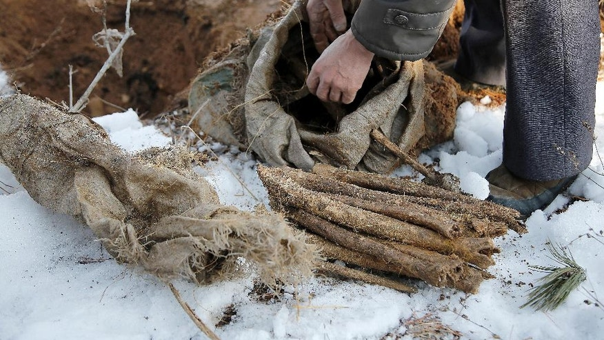 "In this Thursday, Dec. 3, 2015, photo, village elder Kim Ri Jun, lays out remains from a burlap sack, which he claims belongs to a soldier who fought in the Korean War from a burial site on Ryongyon-ri hill in Kujang county, North Korea. ""Until They Are Home"" is one of the most sacred vows of the U.S. military, yet there are 5,300 American GIs missing in North Korea from the Korean War whose remains are potentially recoverable. It has been more than a decade since any U.S. search teams have tried, and with construction projects across the country moving forward, many could already be lost forever. (AP Photo/Wong Maye-E)"