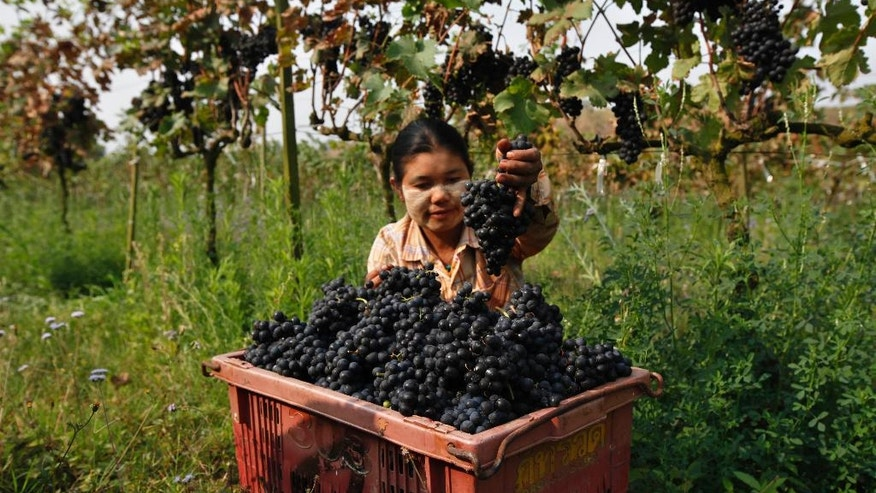 In this Saturday, March 12, 2016 photo, a worker collects grapes in a plastic bin at Aythaya wine estate in Aythaya, near Taunggyi, the capital of northeastern Shan state, Myanmar. Gutsy German entrepreneur Bert Morsbach started Myanmar's first winery and now is harvesting the rewards. Consumption is set to soar with the growth of the country's middle class. His next game plan: to root a wine culture in the tropical, Southeast Asian nation, and make the best white wine in Asia. (AP Photo/Esther Htusan)