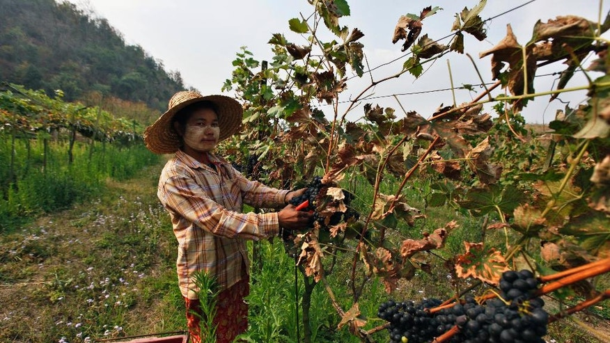 In this Saturday, March 12, 2016 photo, a worker harvests grapes at Aythaya wine estate in Aythaya near Taunggyi, the capital of northeastern Shan state, Myanmar. Myanmar's first ever winery, a pioneering effort by German entrepreneur Bert Morsbach who overcame both political minefields and viticulturally virgin terrain to find himself catering to a growing middle class and booming tourism that demand more wine than he can currently offer. He doesn't even have enough left over for export. (AP Photo/Esther Htusan)