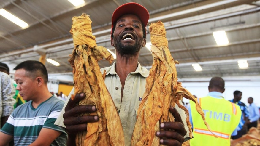 Tobacco farmer Godfrey Chirau holds a sample of his crop during the opening of the Tobacco selling season in Harare, Wednesday, March, 30, 2016. Chirau joined hundreds of tobacco farmers who converged at the Tobacco Sales Floor in the capital Harare, where the best quality leaf fetched $4.40 per kilogram. Tobacco is the biggest export for struggling the Southern African nation which uses the United States Dollar as its currency after its own collapsed under the weight of inflation in 2009.(AP Photo/Tsvangirayi Mukwazhi)
