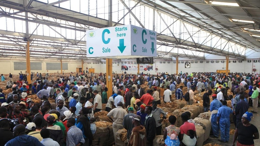 Hundreds of farmers and buyers converge during the opening of the Tobacco selling season in Harare, Wednesday, March, 30, 2016, where the best quality leaf fetched $4.40 per kilogram. Tobacco is the biggest export for struggling the Southern African nation which uses the United States Dollar as its currency after its own collapsed under the weight of inflation in 2009.(AP Photo/Tsvangirayi Mukwazhi)
