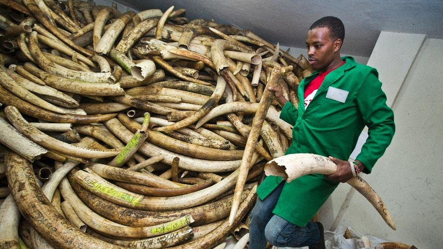 A worker removes elephant tusks from a pile in the secure strongroom, to be logged and carried outside into shipping containers for storage, at the headquarters of the Kenya Wildlife Service (KWS) in Nairobi, Kenya, Monday, April 4, 2016. Around 105 tonnes of ivory are due to be burned later this month, the largest single destruction of ivory in history according to the KWS, to coincide with the Giants Club summit for the protection of elephants which will be held in Kenya April 28-30. (AP Photo/Ben Curtis)