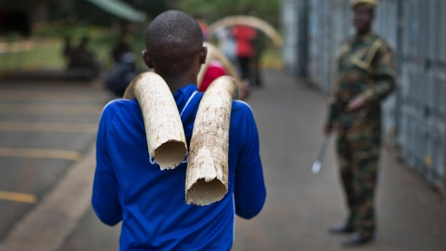 A worker carries elephant tusks from a secure strongroom to shipping containers outside for storage, at the headquarters of the Kenya Wildlife Service (KWS) in Nairobi, Kenya Monday, April 4, 2016. Around 105 tonnes of ivory are due to be burned later this month, the largest single destruction of ivory in history according to the KWS, to coincide with the Giants Club summit for the protection of elephants which will be held in Kenya April 28-30. (AP Photo/Ben Curtis)