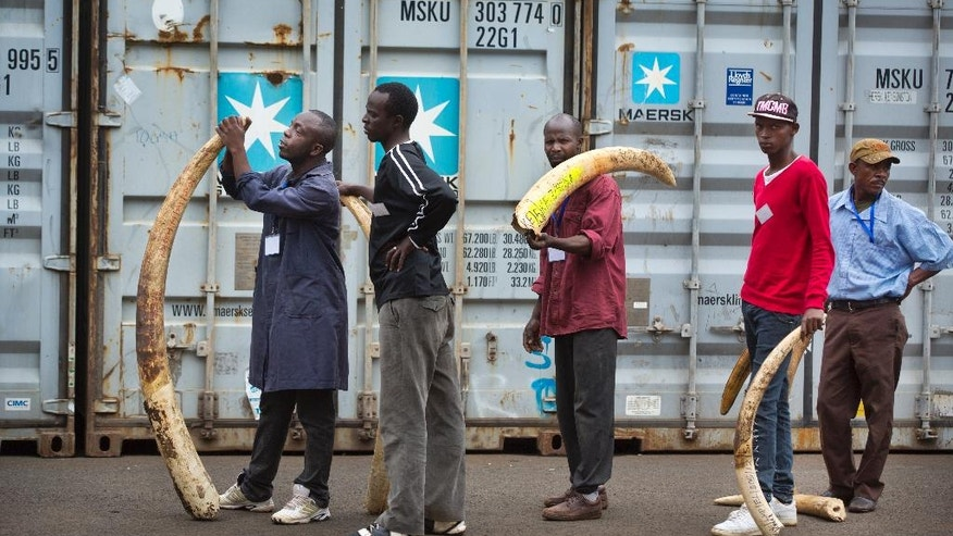 Workers carrying elephant tusks from a secure strongroom queue for the ivory to be logged as it is put into shipping containers outside for storage, at the headquarters of the Kenya Wildlife Service (KWS) in Nairobi, Kenya Monday, April 4, 2016. Around 105 tonnes of ivory are due to be burned later this month, the largest single destruction of ivory in history according to the KWS, to coincide with the Giants Club summit for the protection of elephants which will be held in Kenya April 28-30. (AP Photo/Ben Curtis)