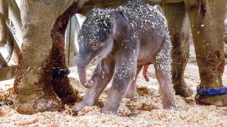 A new born baby elephant walks in the enclosure with its mother Janita at the zoo in Prague, Czech Republic, Tuesday, April 5, 2016. Zoo director Miroslav Bobek says the mother Janita gave birth to the male calf early Tuesday. It has yet to be named. (Miroslav Bobek, Zoo Praha via AP)