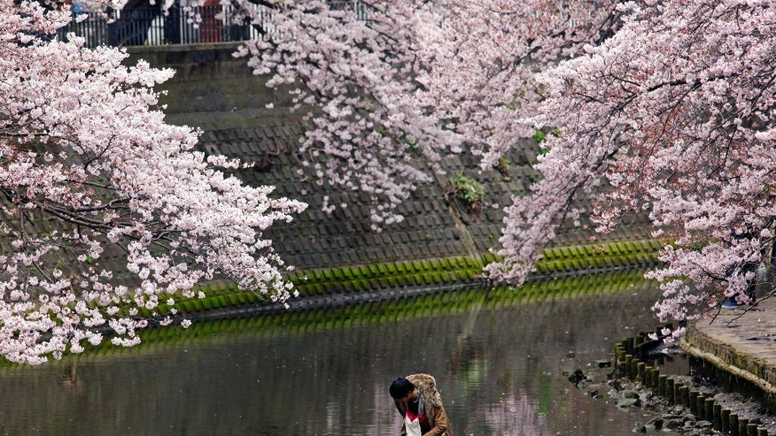 "FILE - In the Saturday, April 2, 2016 photo, a child tries to cross over a river under blooming cherry blossoms in Yokohama, near Tokyo. Cherry blossom viewing, or ""hanami,"" is an annual ritual that takes many forms, from contemplative walks along rows of cherry trees to boisterous picnics in crowded public parks. (AP Photo/Shuji Kajiyama, File)"