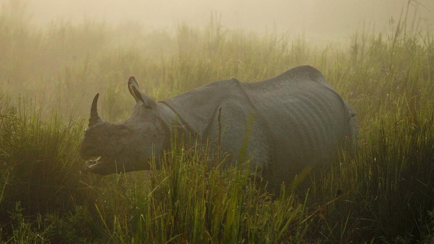 FILE - In this Dec. 3, 2012 file photo, a one-horned rhinoceros stands in the Kaziranga National Park, a wildlife reserve that provides refuge to more than 2,200 endangered Indian one-horned rhinoceros, in the northeastern Indian state of Assam. With the Duke and Duchess of Cambridge set to visit the world's largest one-horn rhino park in remote northeastern India, conservationists hope the British royals can help raise global alarms about how black-market demand for rhino horns and other animal parts is fueling illegal poaching and pushing species to the brink. (AP Photo/Anupam Nath, File)