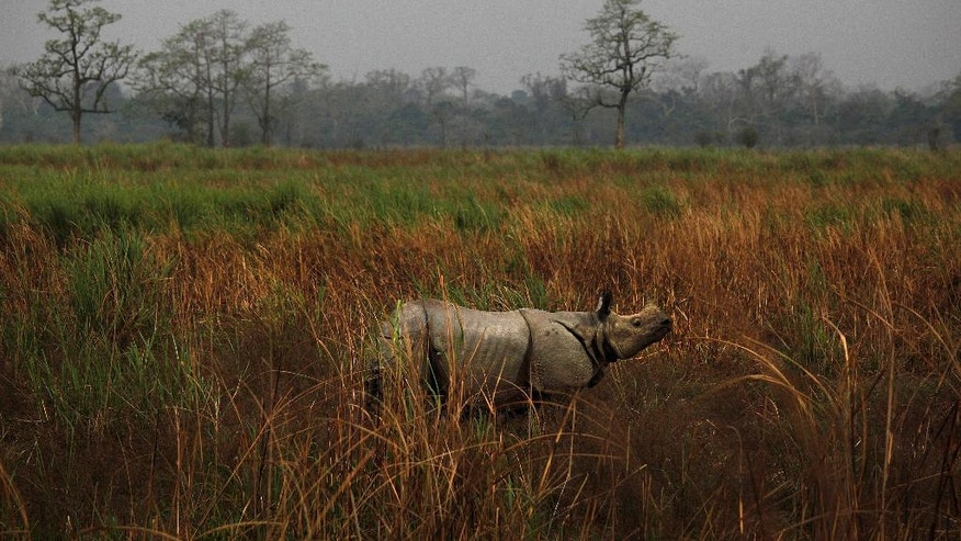 FILE - In this April 9, 2013 file photo, a one horned rhinoceros stands in the Kaziranga National Park in Kaziranga, about 250 kilometers (155 miles) east of Gauhati, India. With the Duke and Duchess of Cambridge set to visit the world's largest one-horn rhino park in remote northeastern India, conservationists hope the British royals can help raise global alarms about how black-market demand for rhino horns and other animal parts is fueling illegal poaching and pushing species to the brink. (AP Photo/Anupam Nath, File)