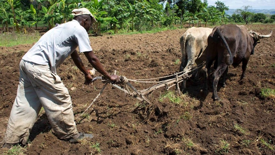 In this April 11, 2016 photo, Montas Benjamin prepares the land to plant peanuts in Mirebalais, Haiti. The legume is a vital cash crop often grown on the country's marginal farmland. ( AP Photo/Dieu Nalio Chery)