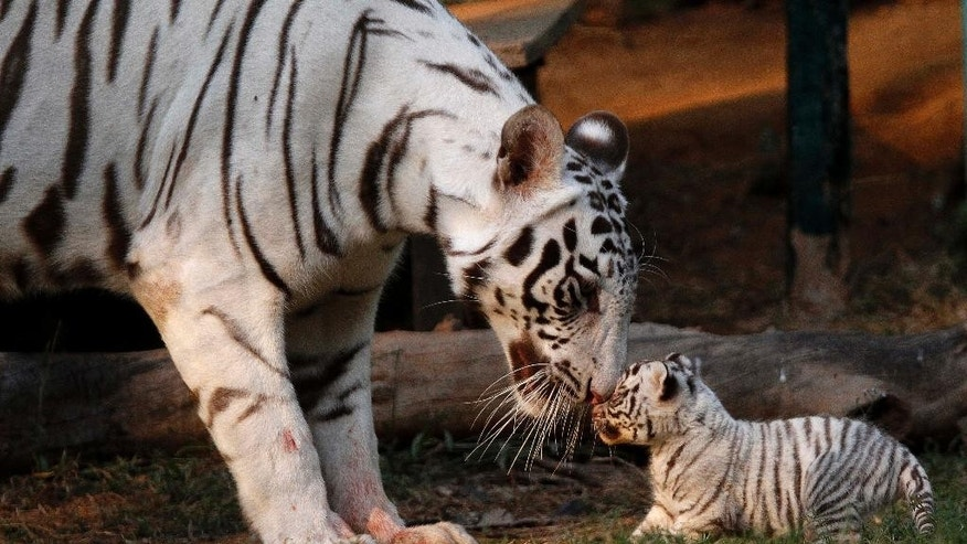 FILE - In this Saturday, Feb. 11, 2012, file photo, Khushi, a white tigress, plays with her newborn cub at the state zoological park in Gauhati, India. Countries with wild tiger populations have agreed to do more to protect tiger habitats that are shrinking drastically because of deforestation and urban sprawl, conservationists said Friday,  April 15, 2016. Representatives from the 13 Asian countries with tigers, meeting this week in New Delhi, issued a resolution acknowledging that the forests in which tigers live are inherently valuable themselves and worthy of protection. (AP Photo/Anupam Nath, File)
