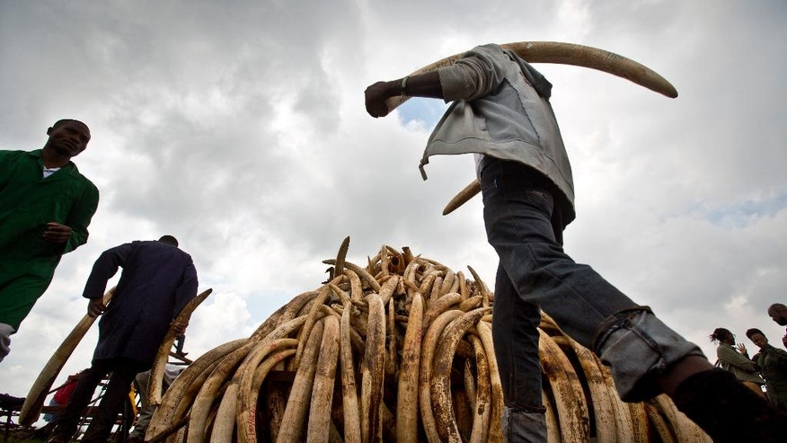 Workers from the Kenya Wildlife Service (KWS) carry elephant tusks from shipping containers full of ivory transported from around the country, as they stack it into pyres in Nairobi National Park, Kenya Wednesday, April 20, 2016. Around 105 tonnes of ivory and other endangered animal products are due to be burned next week, the largest single destruction of ivory in history according to the KWS, to coincide with the Giants Club summit for the protection of elephants which will be held in Kenya April 28-30. (AP Photo/Ben Curtis)