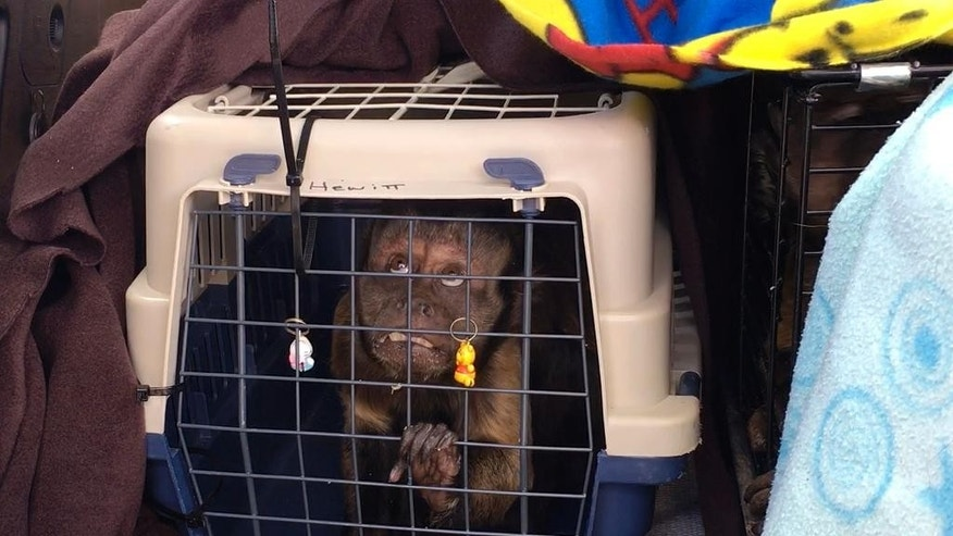 A rescued monkey is seen in a cage at a garden nursery, north of Johannesburg, Saturday, April 23, 2016.  Nearly 50 starving, dehydrated monkeys were rescued from cages at the nursery by the International Primate Rescue organization. The monkeys had been kept in cages for the entertainment of people coming to buy plants at the Little Falls Garden Center. Visitors notified the primate rescue group of the poor conditions. (AP Photo/Renee Graham)