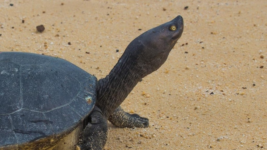 In this June 24, 2015, photo released by Wildlife Conservation Society, a Cambodian Royal Turtle walks on the sand of Sre Ambel river bank, in Koh Kong province, in western Phnom Penh, Cambodia. Cambodia's Royal Turtle is nearly extinct, with fewer than 10 left in the wild, because increased sand dredging and illegal clearance of flooded forest have shrunk its habitat, a conservationist group warned Monday, April 25, 2016.  (Wildlife Conservation Society via AP) MANDATORY CREDIT, NO SALES