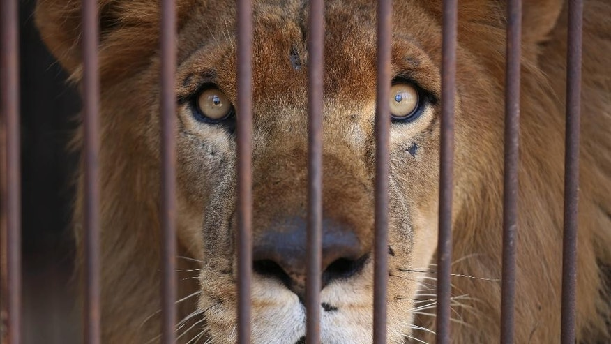 A former circus lion looks from inside his cage, in the outskirts of Lima, Peru, Tuesday, April 26, 2016. Thirty-three lions rescued from circuses in Peru and Colombia are heading back to their homeland to live out the rest of their lives in a private sanctuary in South Africa. The largest ever airlift of lions will take place Friday and was organized and paid for by Animal Defenders International. (AP Photo/Martin Mejia)