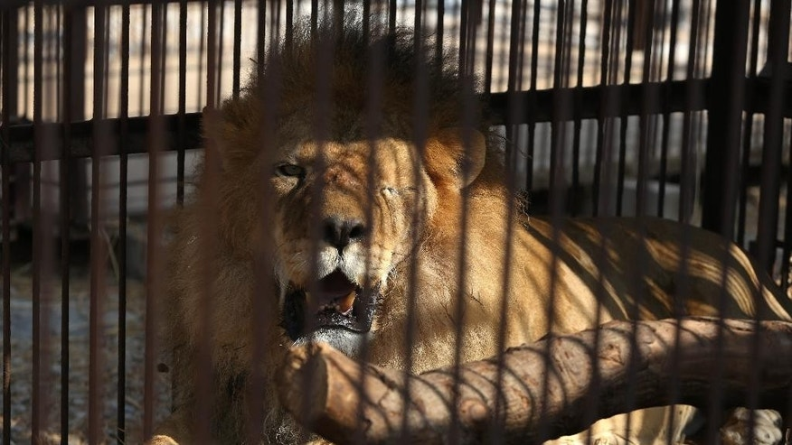 A former circus lion who's missing an eye, rests inside a cage at a temporary refuge in the outskirts of Lima, Peru, Tuesday, April 26, 2016. Thirty-three lions rescued from circuses in Peru and Colombia are heading back to their homeland to live out the rest of their lives in a private sanctuary in South Africa. The largest ever airlift of lions will take place Friday and was organized and paid for by Animal Defenders International. (AP photo/Martin Mejia)