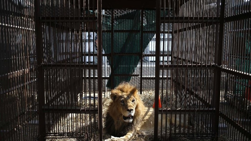 A former circus lion rest inside a cage in the outskirts of Lima, Peru, Tuesday, April 26, 2016. Thirty-three lions rescued from circuses in Peru and Colombia are heading back to their homeland to live out the rest of their lives in a private sanctuary in South Africa. The largest ever airlift of lions will take place Friday and was organized and paid for by Animal Defenders International. (AP photo/Martin Mejia)