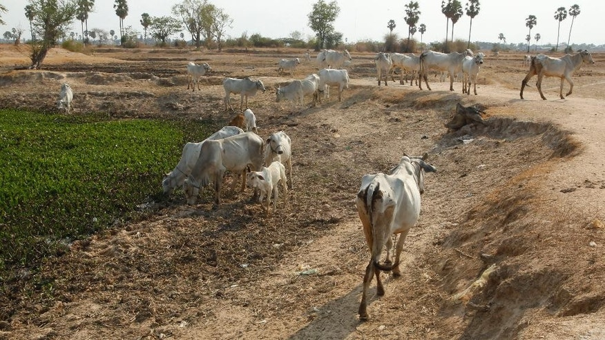 Cows drink water at a pond during the dry season on the outskirts of Phnom Penh, Cambodia, Tuesday, April 26, 2016. Cambodia's prime minister says society must mobilize to help deal with the worst drought in at least four decades, which has left about two-thirds of the country's 25 provinces short of water for drinking and other necessities.(AP Photo/Heng Sinith)