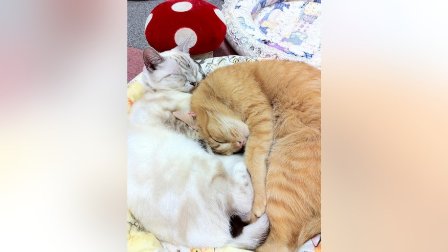 "In this Dec. 18, 2010 photo, two cats sleep together at a cat cafe in Tokyo. Felines at Japan's popular ""cat cafes"" are now allowed to stay up until 10 p.m. to interact with customers. The Environment Ministry's animal rights panel said Wednesday, April 27, 2016 that the cats will be allowed to hang out two hours later than the old guidelines allowed. Under the 2012 guidelines, cats and other animals at pet shops could not be displayed after 8 p.m. (AP Photo/Hiroshi Otabe)"