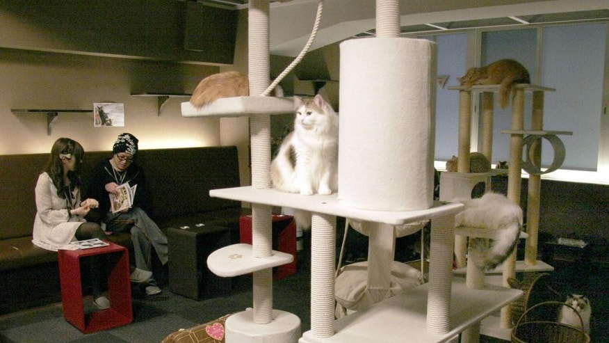 "In this May 2, 2012 photo, cats rest on the perches at Cat Cafe Calico in Tokyo. Felines at Japan's popular ""cat cafes"" are now allowed to stay up until 10 p.m. to interact with customers. The Environment Ministry's animal rights panel said Wednesday, April 27, 2016 that the cats will be allowed to hang out two hours later than the old guidelines allowed. Under the 2012 guidelines, cats and other animals at pet shops could not be displayed after 8 p.m. (Kyodo News via AP) JAPAN OUT, MANDATORY CREDIT"