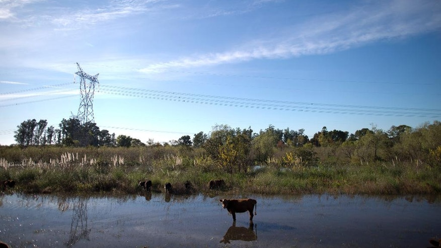 A cow stands beside the road in Entre Rios, Argentina, Thursday, April 28, 2016. Animals in the country side are suffering from starvation in several Argentine provinces after the rains swelled rivers, swamping fields and towns nationwide.(AP Photo/Natacha Pisarenko)
