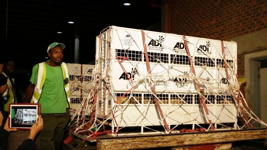 Airport cargo handlers attends to cages of former circus lions on their arrival at OR Tambo International airport in Johannesburg, South Africa, Saturday, April 30, 2016.  Thirty-three lions rescued from various circuses in Peru and Colombia are heading to Johannesburg live out the rest of their lives in a private sanctuary in South Africa, organized and paid for by Animal Defenders International.(AP Photo/Themba Hadebe)