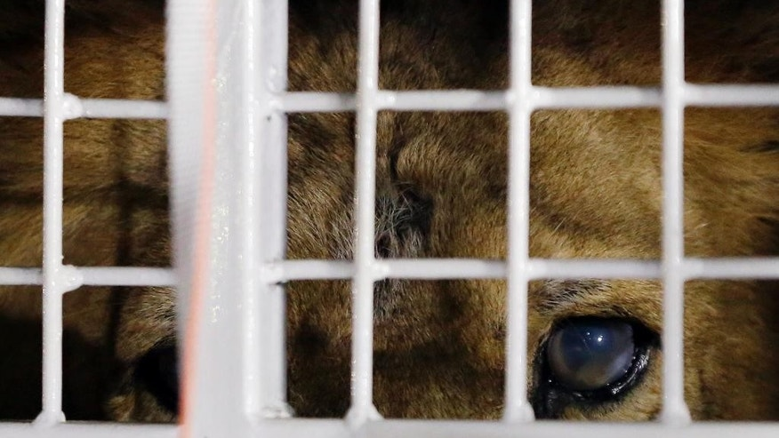 A former circus lion peers from inside a cage during their arrival at OR Tambo International airport in Johannesburg, South Africa, Saturday, April 30, 2016. Thirty-three lions rescued from various circuses in Peru and Colombia are heading to Johannesburg live out the rest of their lives in a private sanctuary in South Africa, organized and paid for by Animal Defenders International. (AP Photo/Themba Hadebe)
