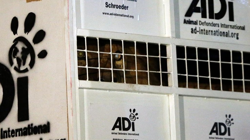 A former circus lion peers from inside a cage on their arrival at OR Tambo International airport in Johannesburg, South Africa, Saturday, April 30, 2016. Thirty-three lions rescued from various circuses in Peru and Colombia are heading to Johannesburg live out the rest of their lives in a private sanctuary in South Africa, organized and paid for by Animal Defenders International.(AP Photo/Themba Hadebe)
