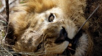 South Africa: Rescued lions explore new home in sanctuary