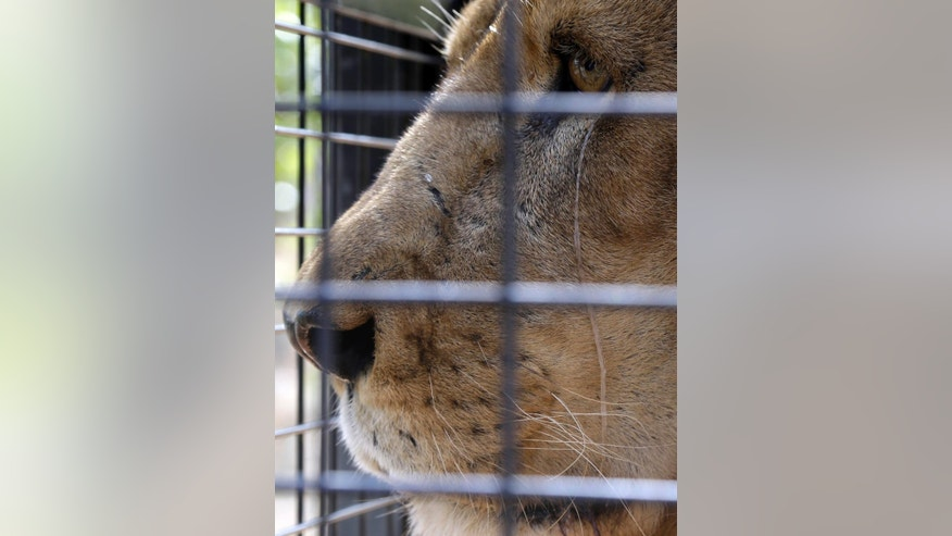 A former circus lion look on prior to being released into an enclosure at Emoya Big Cat Sanctuary in Vaalwater, northern, South Africa, Sunday, May 1, 2016. Thirty-three lions rescued from circuses in Peru and Colombia are heading back to their homeland to live out the rest of their lives in a private sanctuary in South Africa. The operation is the largest ever airlift of lions, organized and paid for by Animal Defenders International. (AP Photo/Themba Hadebe)