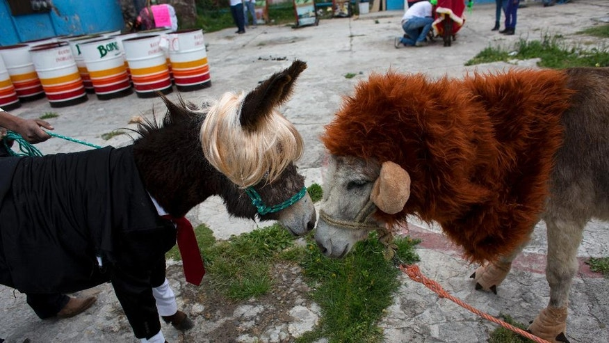 In this May 1, 2016 photo, donkeys dressed as a lion and as Donald Trump touch noses as they await the start of the costume competition event at the annual donkey festival in Otumba, Mexico state, Mexico. Costume themes for the animals this year ranged from the ride-sharing Uber to pre-Hispanic temples. (AP Photo/Rebecca Blackwell)