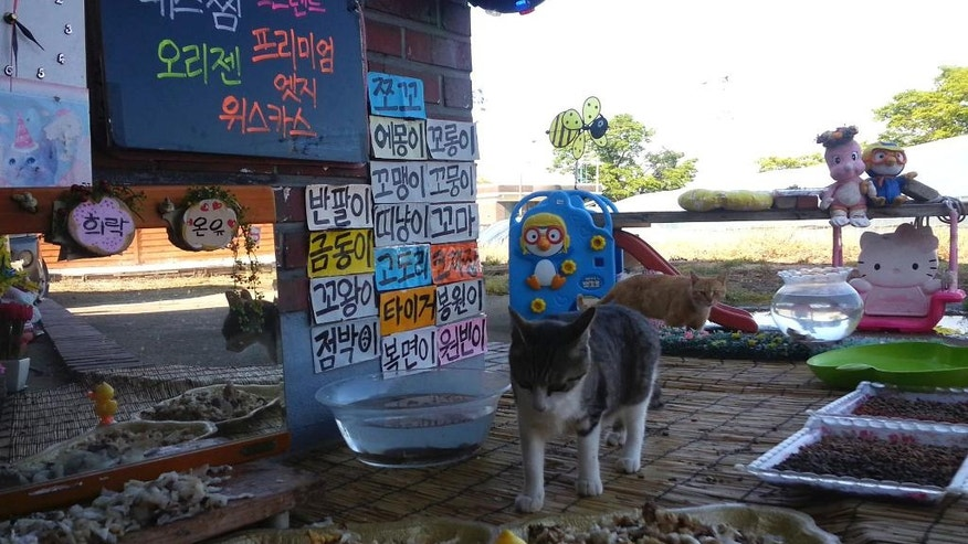 "In this April 29, 2016, image made from video provided by Cat TV host Koo Eun-je, stray cats approach foods prepared by South Korean Koo Eun-je, the 35-year-old host of the online Cat TV, at ""a restaurant for cats"" in JeollaNamdo, South Korea. The stars of the latest online trend in South Korea are stray cats, eating food left out for them as viewers sit enrapt at their feline charms. Koo's livestreamed ""Cats Meok Bang"" show is a twist on an online trend of young South Korean men and women tucking into feasts in real time, while viewers send messages and sometimes virtual cash. In a country where young adults increasingly live and dine alone, the shows have become so popular, some hosts have made small or big fortunes from the virtual cash sent from viewers. (Cat TV host Koo Eun-je via AP) EDITORIAL USE ONLY"