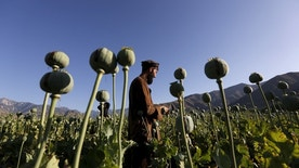 An Afghan man works on a poppy field in Nangarhar province, Afghanistan April 20, 2016. REUTERS/Parwiz      TPX IMAGES OF THE DAY      - RTX2ARQ4