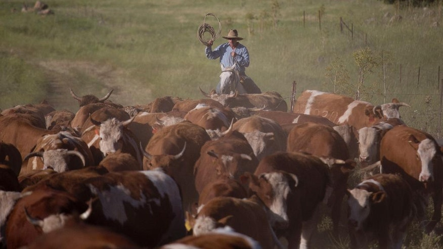 "In this Thursday, April 21, 2016 photo Israeli cowboy Yehiel Alon rides on horseback as he rounds up some 650 head of cattle in the Israeli controlled Golan Heights near the border with Syria. Alon cuts the figure of a quintessential cowboy. With his wide brim hat, Wrangler jeans and an ornate buckle on his leather belt, he could easily be mistaken for the Montana ranchers he once worked with. But the 53-year-old Alon is a cowboy on the Golan Heights bordering worn-torn Syria and the frontier life takes on a whole new meaning here. ""It's probably the only place on earth where you will see cows alongside tanks,"" he says with a smile, a cigarette dangling from his lips. Israel captured Golan from Syria in the 1967 war. (AP Photo/Ariel Schalit)"