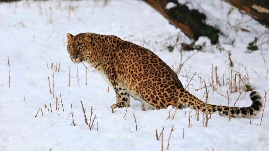 FILE - In this Thursday, Jan. 23, 2014 file photo, a female leopard sits inside a snow covered enclosure at Dachigam Wildlife Sanctuary, outskirts of Srinagar, India. A new study published Wednesday May 4, 2016 says leopards have lost 75 percent of their historic range across Africa, Asia and the Middle East, with three Asian subspecies facing eradication. (AP Photo/Dar Yasin, File)