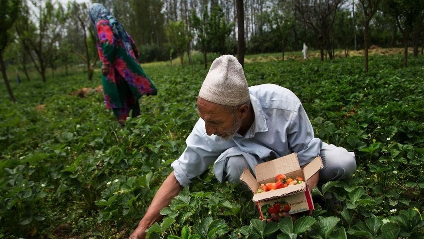 An elderly Kashmiri man harvest strawberries at a farm in the outskirts of Srinagar, Indian controlled Kashmir, Wednesday, May 11, 2016. Agriculture and horticulture are the main income source on the region. (AP Photo/Dar Yasin)