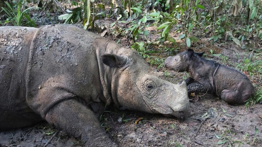 In this Thursday, May 12, 2016 photo released by International Rhino Foundation (IRF), Ratu, a 14-year-old Sumatran rhinoceros, sits next to its newborn calf at Sumatran Rhino Sanctuary in Way Kambas National Park, Indonesia. Ratu has given birth at the sanctuary in a success for efforts to save the critically endangered species. (Stephen Belcher/Canon/IRF/YABI via AP) MANDATORY CREDIT