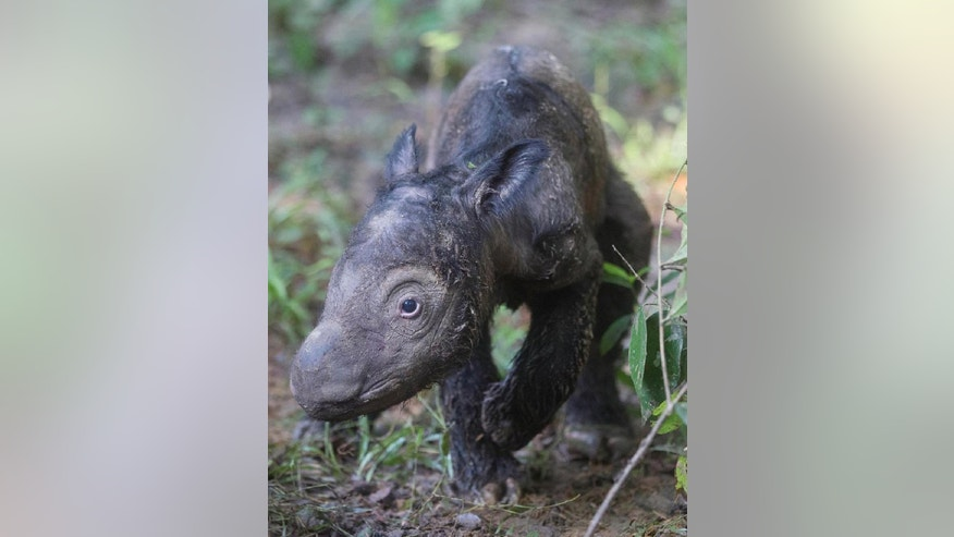 In this Thursday, May 12, 2016 photo released by International Rhino Foundation (IRF), a newly born Sumatran rhinoceros calf walks at the Sumatran Rhino Sanctuary in Way Kambas National Park, Indonesia. Ratu, a 14-year-old Sumatran rhinoceros has given birth to the calf at the sanctuary in a success for efforts to save the critically endangered species. (Stephen Belcher/Canon/IRF/YABI via AP) MANDATORY CREDIT