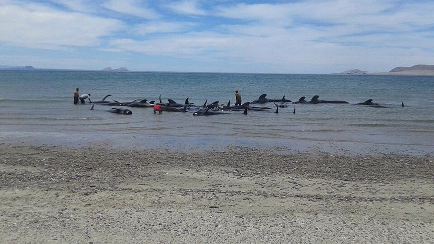 In this image released by Mexico's Secretary of the Navy on May 15, 2016, soldiers and villagers try in vain to move beached whales into deeper waters in a beach known as Playa Bufeo, near Ensenada in Mexico's Gulf of California. Mexico's Navy said in a statement Sunday that its personnel along with soldiers, agents of the environmental ministry and local fishermen worked Saturday and into Sunday trying to save the whales but ultimately, of the 27 that came ashore, only three were saved. (SEMAR via Associated Press)
