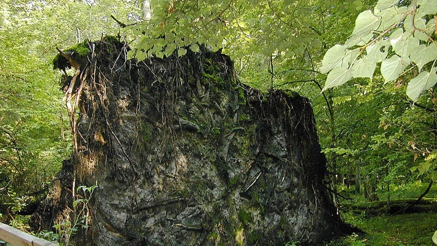 In this photo taken on Aug, 2006, a large dead tree lies on the ground in the Bialowieza National Park, a protected part of the Bialowieza Forest in eastern Poland. Poland's government has sparked a conflict with scientists and conservationists with a plan to significantly increase logging in the Bialowieza Forest, the best preserved relic of an ancient forest that once covered the lowlands of Europe and Russia. (AP Photo/Vanessa Gera)