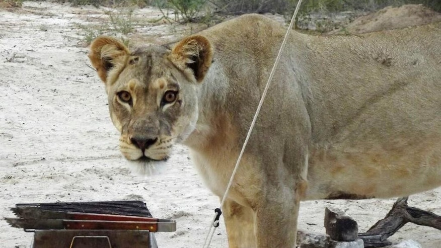 In this picture provided Wednesday May 25, 2016, a female lion stands next to a barbaque grill outside a camping tent at the Kgalagadi Transfrontier Park in Botswana. Danie and Fransie Lubbe said Wednesday that they were in their tent at the Kgalagadi Transfrontier Park earlier this month when they heard a sound and looked outside to see two female lions licking the moisture off the tent's canvas. (Danie Lubbe via AP)