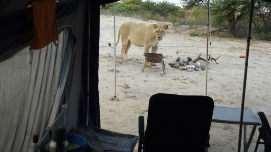 In this picture provided Wednesday May 25, 2016, a female lion stands outside a camping tent at the Kgalagadi Transfrontier Park in Botswana. Danie and Fransie Lubbe said Wednesday that they were in their tent at the Kgalagadi Transfrontier Park earlier this month when they heard a sound and looked outside to see two female lions licking the moisture off the tent's canvas. (Danie Lubbe via AP)