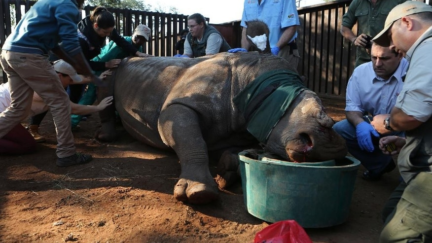 In this photo taken Friday May 20, 2016 Hope, the rhino, is prepared for surgery, headed by veterinarian Gerhard Steenkamp, right, in her pen in Bela Bela, South Africa. A year ago, Hope survived a horrific attack by poachers who darted her and then hacked off her horns and part of her face. Since then, the mutilated rhino has had at least 16 medical procedures requiring anesthetics, testifying to her resilience and the tenacity of caregivers learning about the threatened species as they go along. (AP Photo/Denis Farrell)
