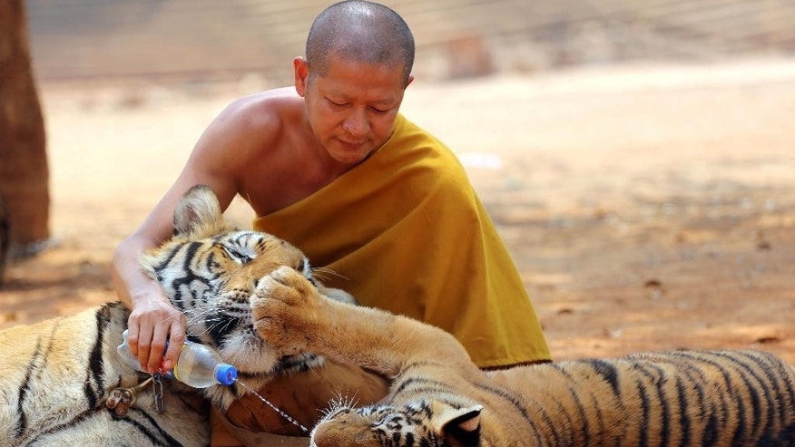 "FILE - In this Feb, 12, 2015 file photo a Thai Buddhist monk gives water to a tiger from a bottle at the ""Tiger Temple"" in Saiyok district in Kanchanaburi province, west of Bangkok, Thailand. Wildlife officials have begun removing some of the 137 tigers held at the Buddhist temple after accusations that their caretakers were involved in illegal breeding and trafficking of the animals, as well as neglected them. Teunjai Noochdumrong, assistant deputy director of the Department of National Parks, said three tigers had been tranquilized and transported Monday, May 30, 2016, in an operation involving about 1,000 state personnel and expected to go on for a week. (AP Photo/Sakchai Lalit, File)"