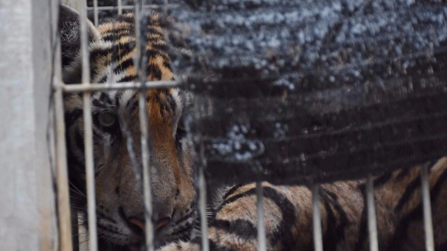 "In this photo provided by the Wildlife Friends Foundation Thailand, a tiger looks out of a cage at the ""Tiger Temple"" in Saiyok district in Kanchanaburi province, west of Bangkok, Thailand, Monday, May 30, 2016. Wildlife officials have begun removing some of the 137 tigers held at the Buddhist temple after accusations that their caretakers were involved in illegal breeding and trafficking of the animals, as well as neglected them. (Wildlife Friends Foundation Thailand via AP)"
