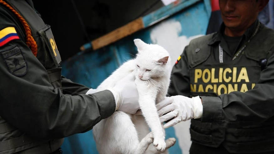 Police officers capture a cat roaming in El Bronx, a neighborhood that was plagued by drug addicts and prostitution, in downtown Bogota, Colombia, Thursday, June 2, 2016. Days after the police raided the streets of Colombia's largest open-air drug market, authorities returned to rescue the abandoned dogs and cats. The goal is to get the animals adopted. (AP Photo/Fernando Vergara)