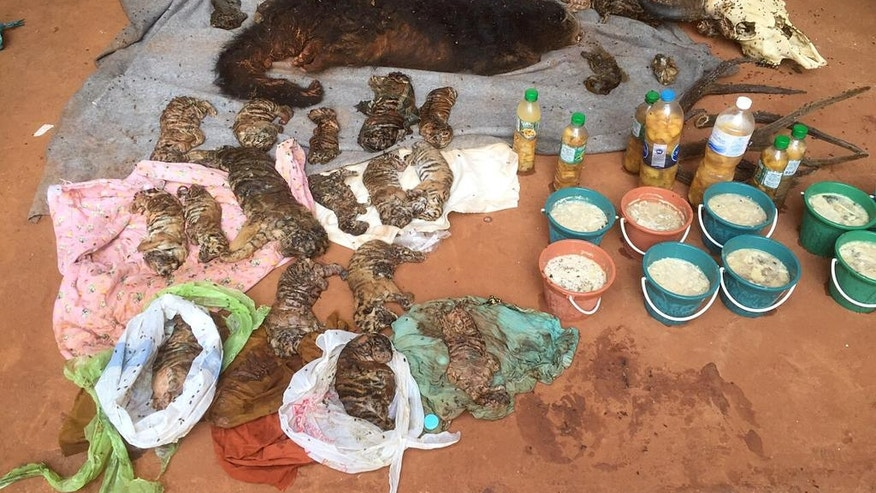"In this photo released by the Department of National Parks, Wildlife and Plant Conservation, the remains of tiger cubs and a bear are laid out at the ""Tiger Temple"" in Saiyok district in Kanchanaburi province, west of Bangkok, Thailand, Wednesday, June 1, 2016.  A Thai national parks official says authorities have found 40 dead tiger cubs in a freezer at a Buddhist temple that operated as an admission-charging zoo.(Department of National Parks, Wildlife and Plant Conservation via AP)"