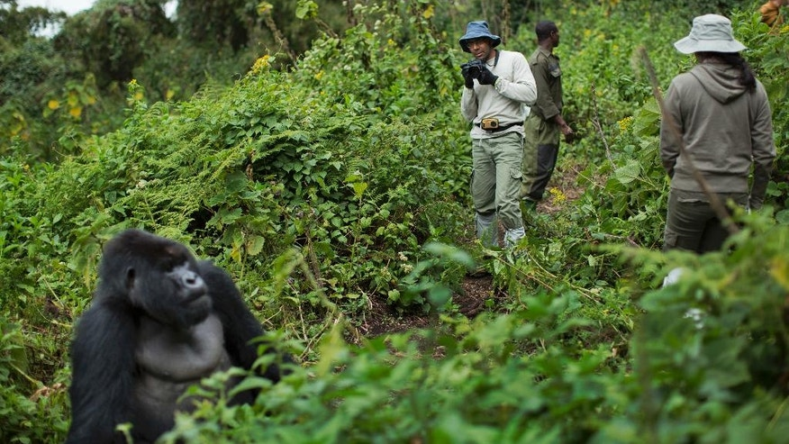 "FILE - In this Friday, Sept. 4, 2015 file photo, tourist Stephen Fernandez, center-right, takes photos of a male silverback mountain gorilla from the family of mountain gorillas named Amahoro, which means ""peace"" in the Rwandan language, in the dense forest on the slopes of Mount Bisoke volcano in Volcanoes National Park, northern Rwanda. In some parts of Africa, tourists and researchers routinely trek into the undergrowth to see gorillas in their natural habitat where there are no barriers or enclosures. (AP Photo/Ben Curtis, File)"