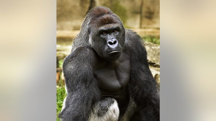 FILE - This June 20, 2015 file photo provided by the Cincinnati Zoo and Botanical Garden shows Harambe, a western lowland gorilla, who was fatally shot Saturday, May 28, 2016, to protect a 3-year-old boy who had entered its exhibit. In some parts of Africa, tourists and researchers routinely trek into the undergrowth to see gorillas in their natural habitat where there are no barriers or enclosures. (Jeff McCurry/Cincinnati Zoo and Botanical Garden via The Cincinatti Enquirer via AP, File)
